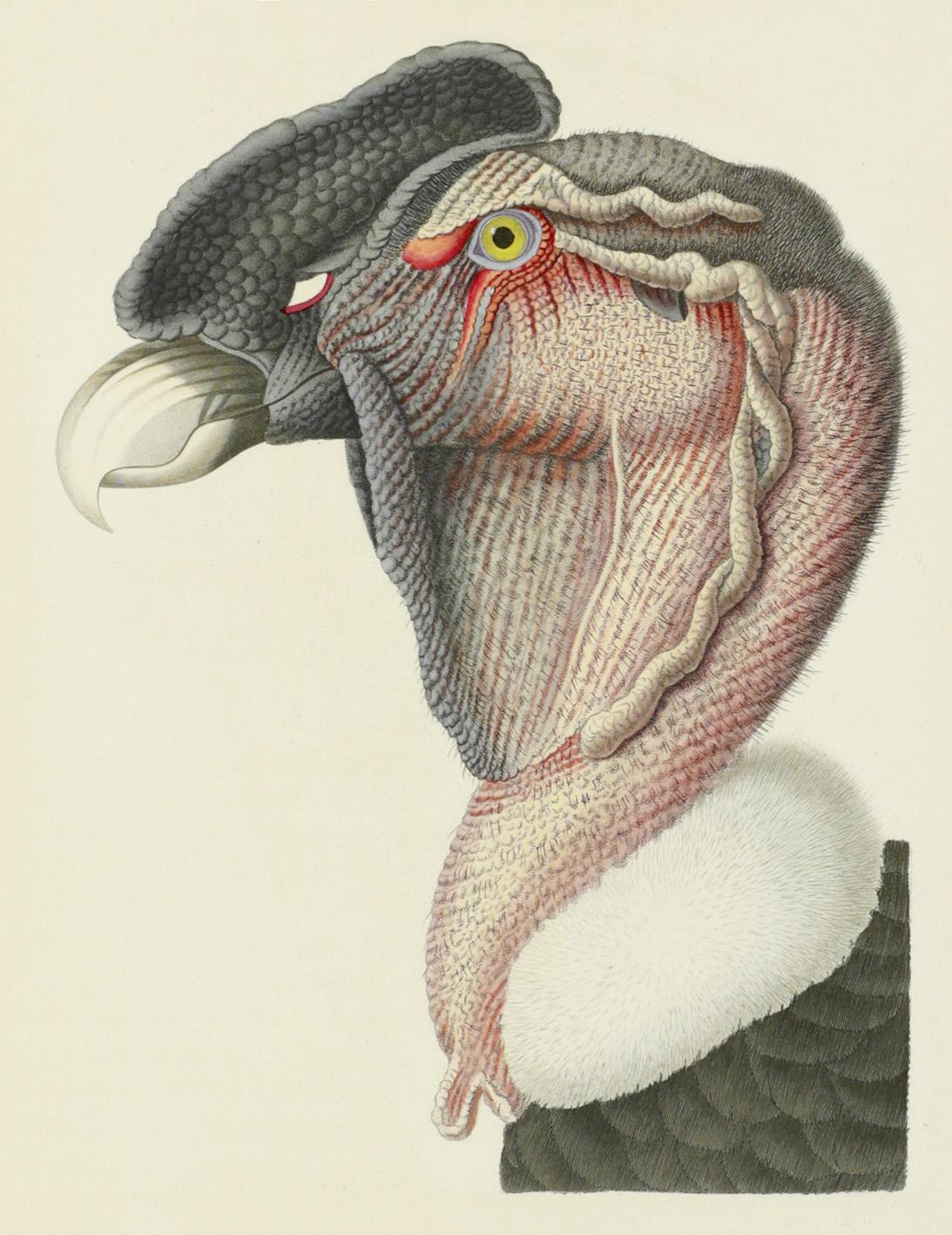 C.J. Temminck et G. Meiffren Laugier de Chartrouse, Nouveau recueil de planches coloriées d'oiseaux, pour servir de suite et de complément aux planche