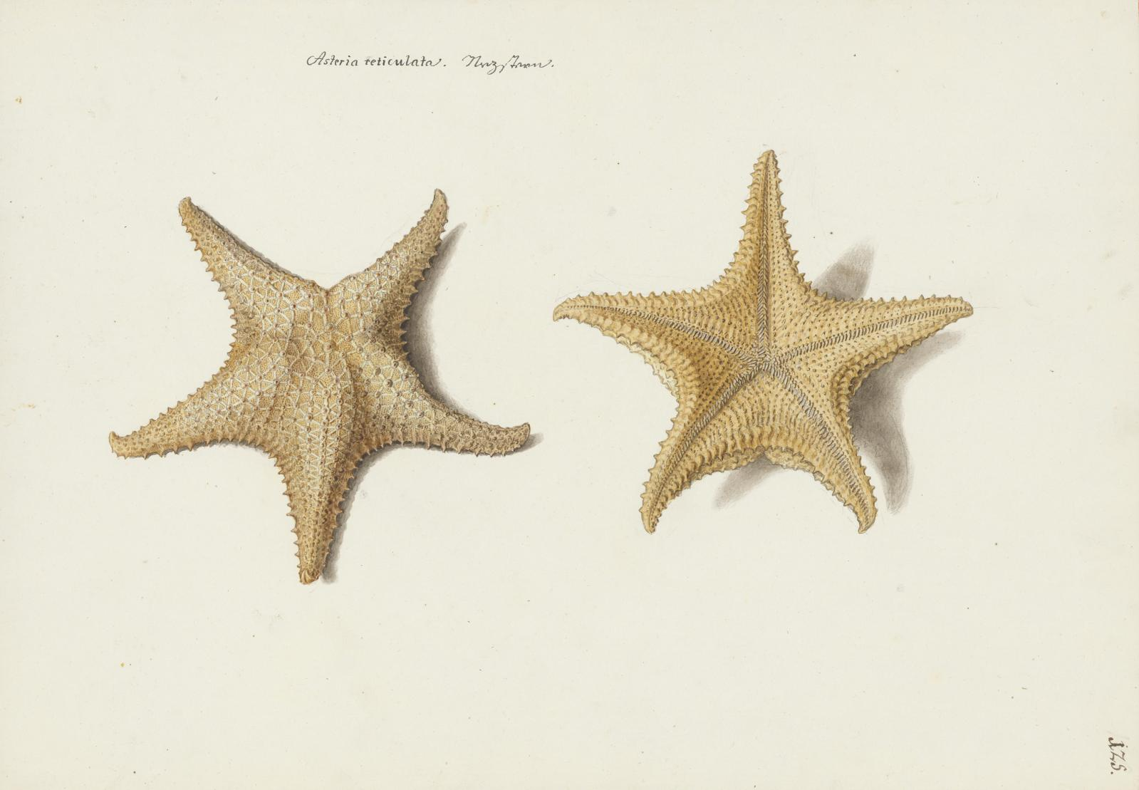 "Franz Anton von Scheidel (1731-1801), ""Two sides of a sea star"", watercolour on pencil and white paper inscribed with pen and brown ink, 36.4 x 51.6 c"