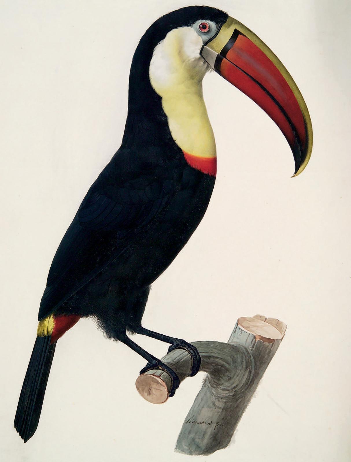 Jacques Barraband, Toucan (Ramphastos tucanus), aquarelle gouachée, 52,2x38,2 cm.Paris, Drouot, 17mars2010,Blanchet & Associés SVV. M. Turquin. 12