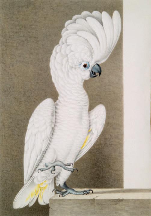 Nicolas Robert et son atelier, Cacatoès blanc (Cacatua alba), aquarelle et gouache sur vélin, 42,2x29,9cm.Paris, Drouot, 17mars2010, Blanchet & A