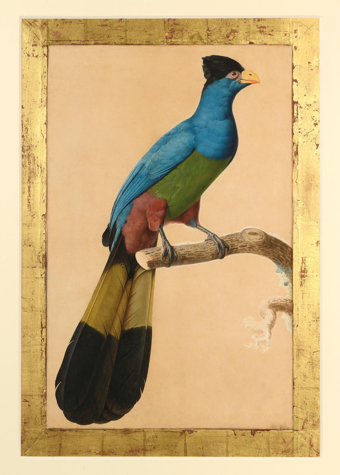 Jacques Barraband (1767-1809), Le Touraco géant, aquarelle gouachée sur trait de crayon noir, 66x43cm. Paris, Drouot, 21juin 2017. Blanchet &Asso