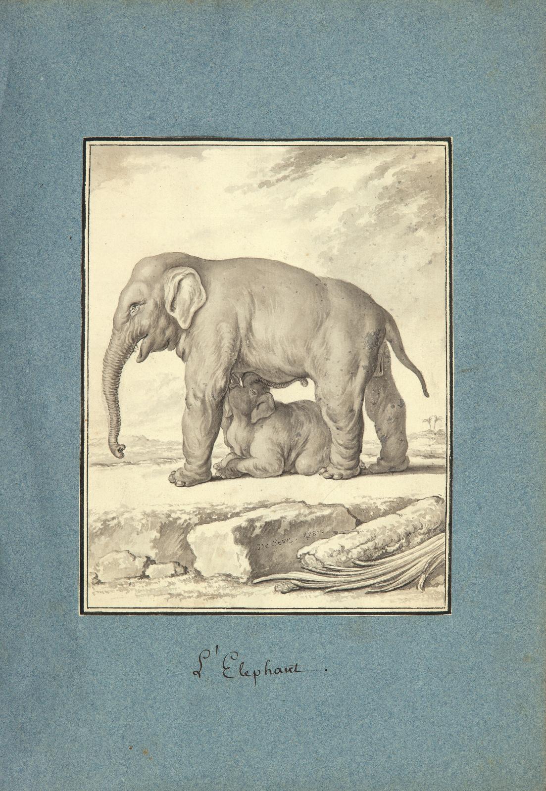 Jacques de Sève (actif de 1742 à 1788), recueil de 226 dessins originaux pour illustrer l'Histoire naturelle… de Buffon, vers 1754-1789 (l'un reprodui