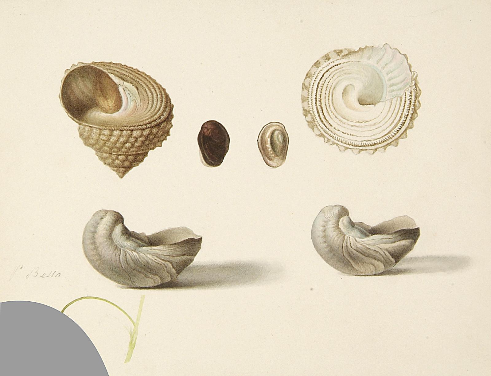Pancrace Bessa (1772-1835), Six coquillages, aquarelle, 21x26cm. Paris, Drouot, 25 juin 2008. Ader OVV. Adjugé: 1400€