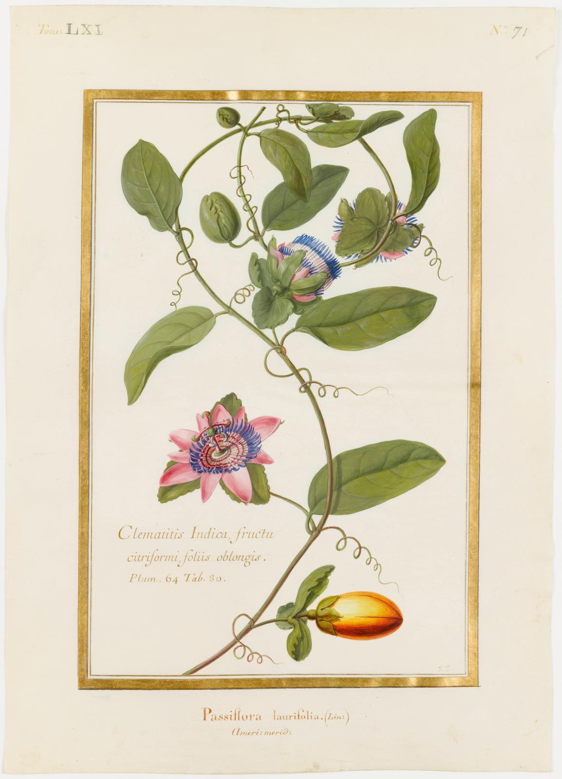 Passiflora laurifolia Linné (Passifloracées), Jean Joubert, Clematitis Indica, fructu citriformi, foliis oblongis, Plum64 tab80, Passiflora laurifol