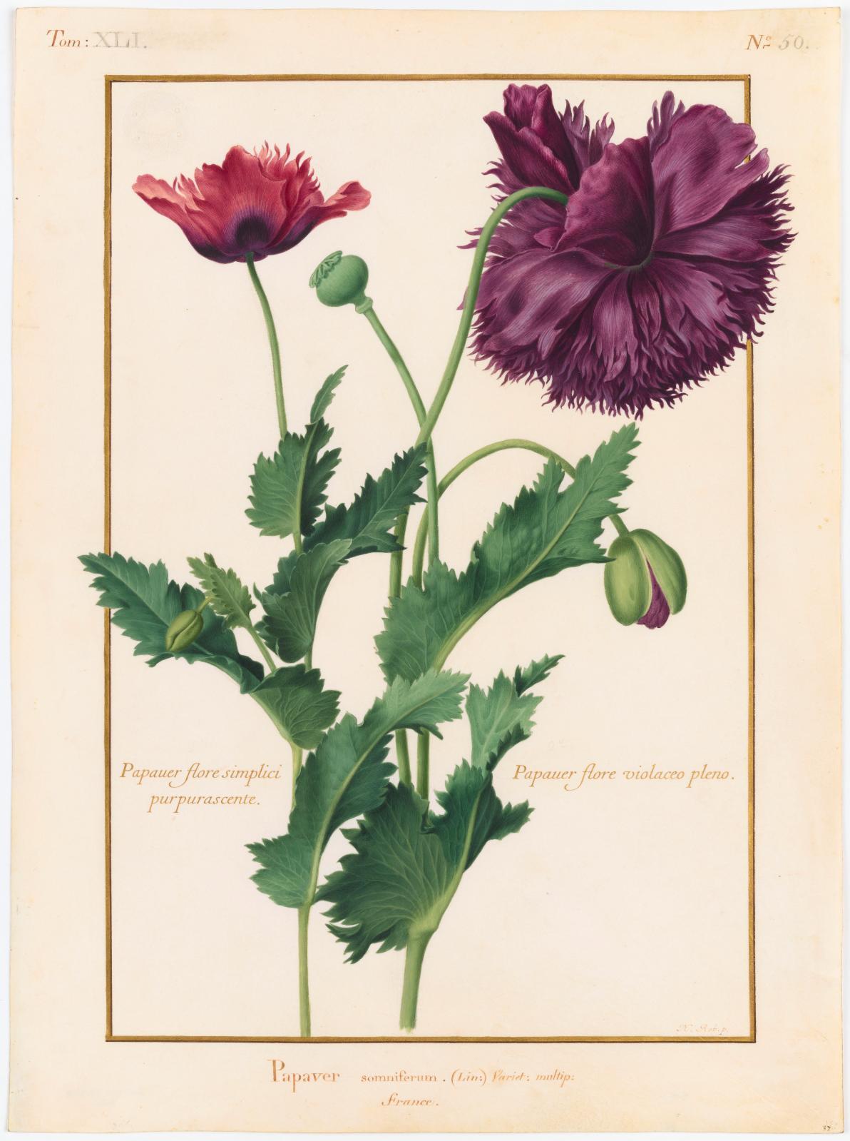 Papaver somniferum Linné (Papavéracées) Nicolas Robert, Papaver flore simplici purpurascente Papaver flore violaceo pleno Papaver somniferum Linné, va