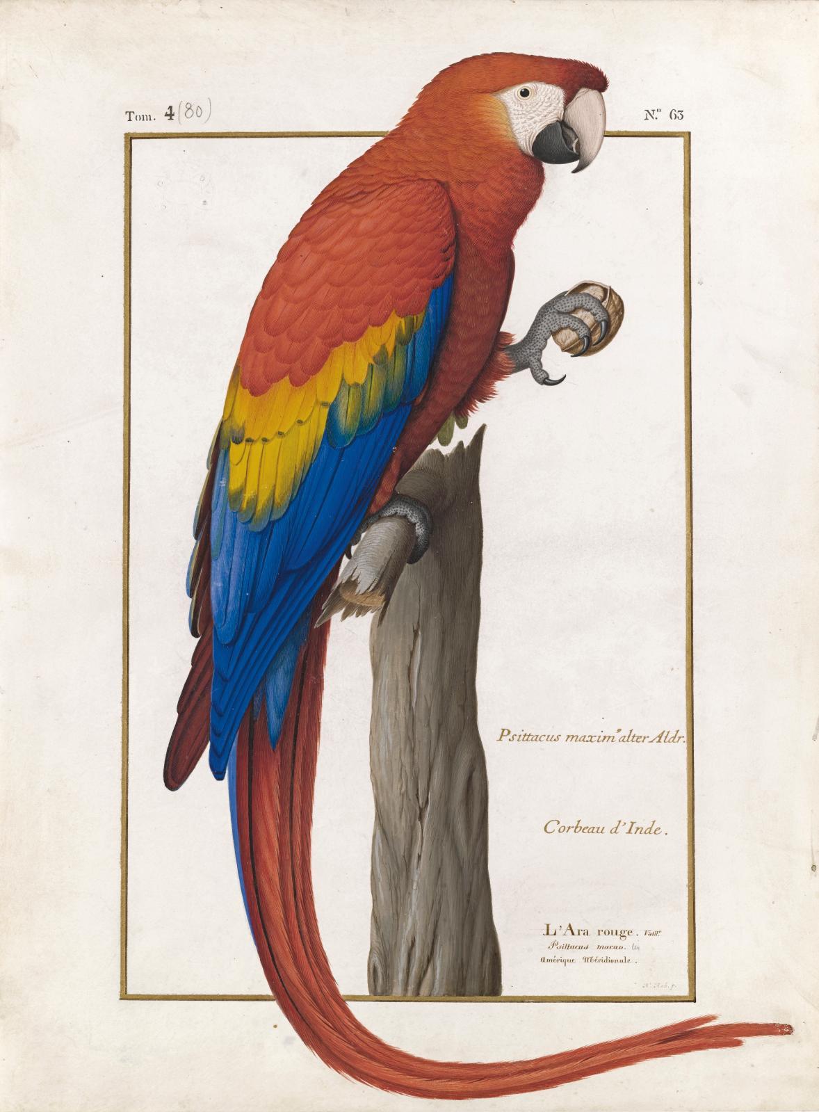 Nicolas Robert (1614-1685), L'Ara rouge (Psittacus macao), vélin du Muséum.