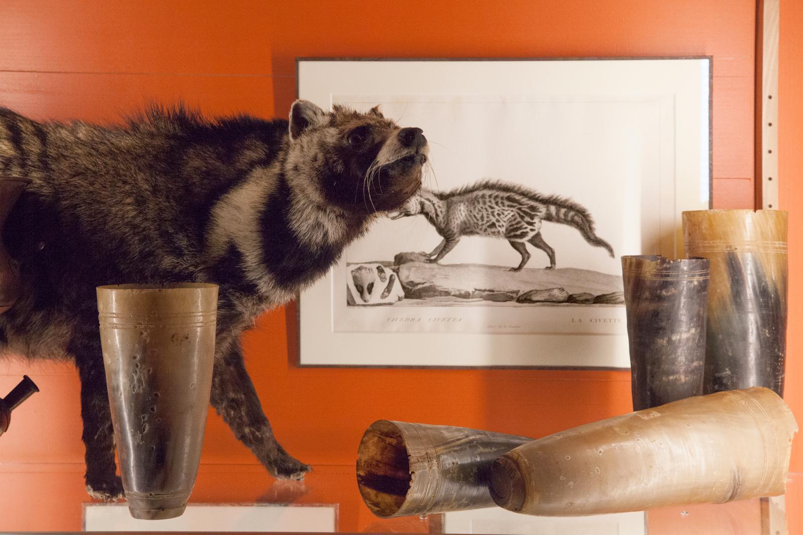Civette, gravure représentant l'animal et cornes de zébudu cabinet de curiosités. © Fragonard Parfumeur