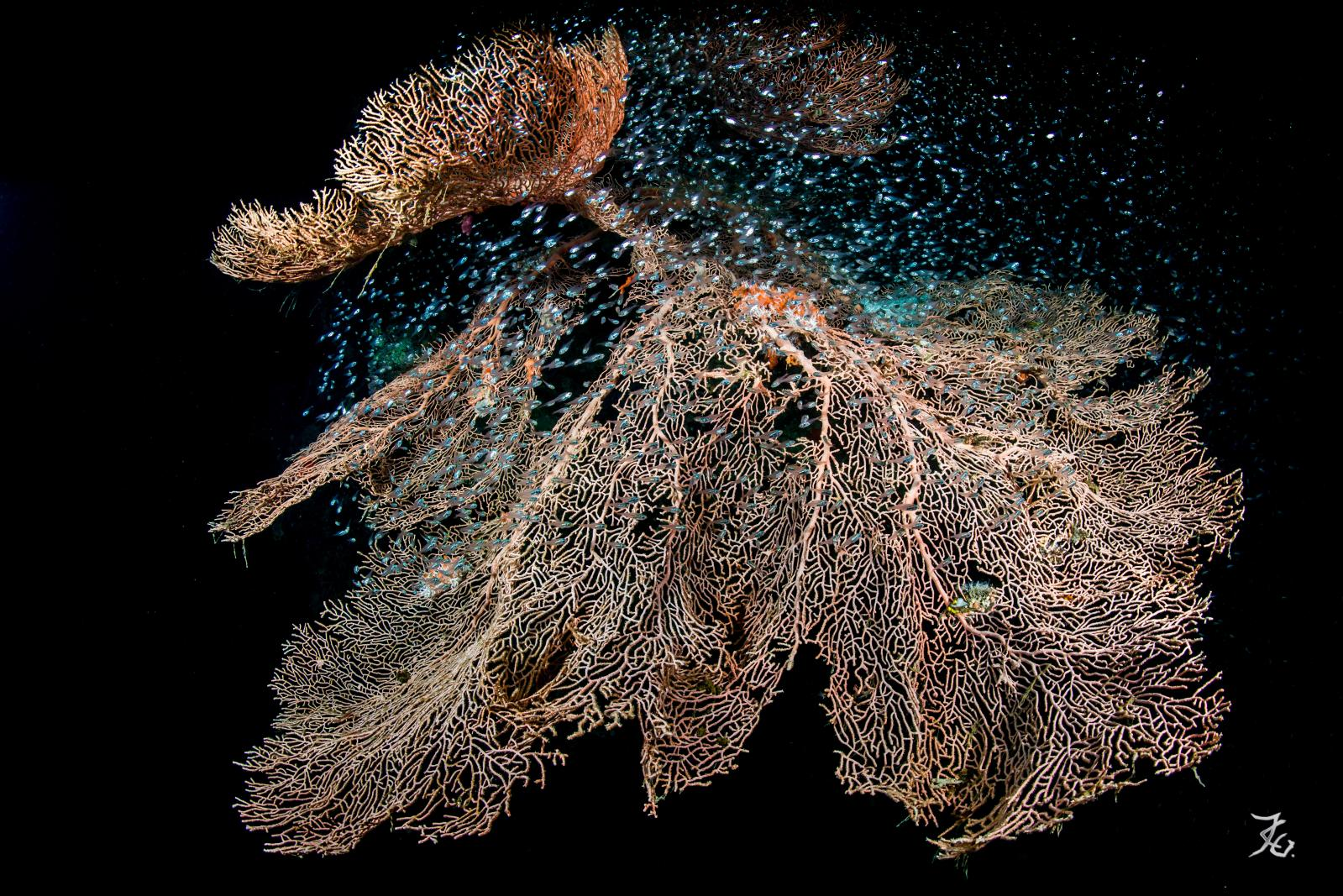 Jean-Claude Grignard, Stunning Lace. Gorgonia and Glass Fish. Utopia reef Quseir, Egypt, photographie, 80x120cm.