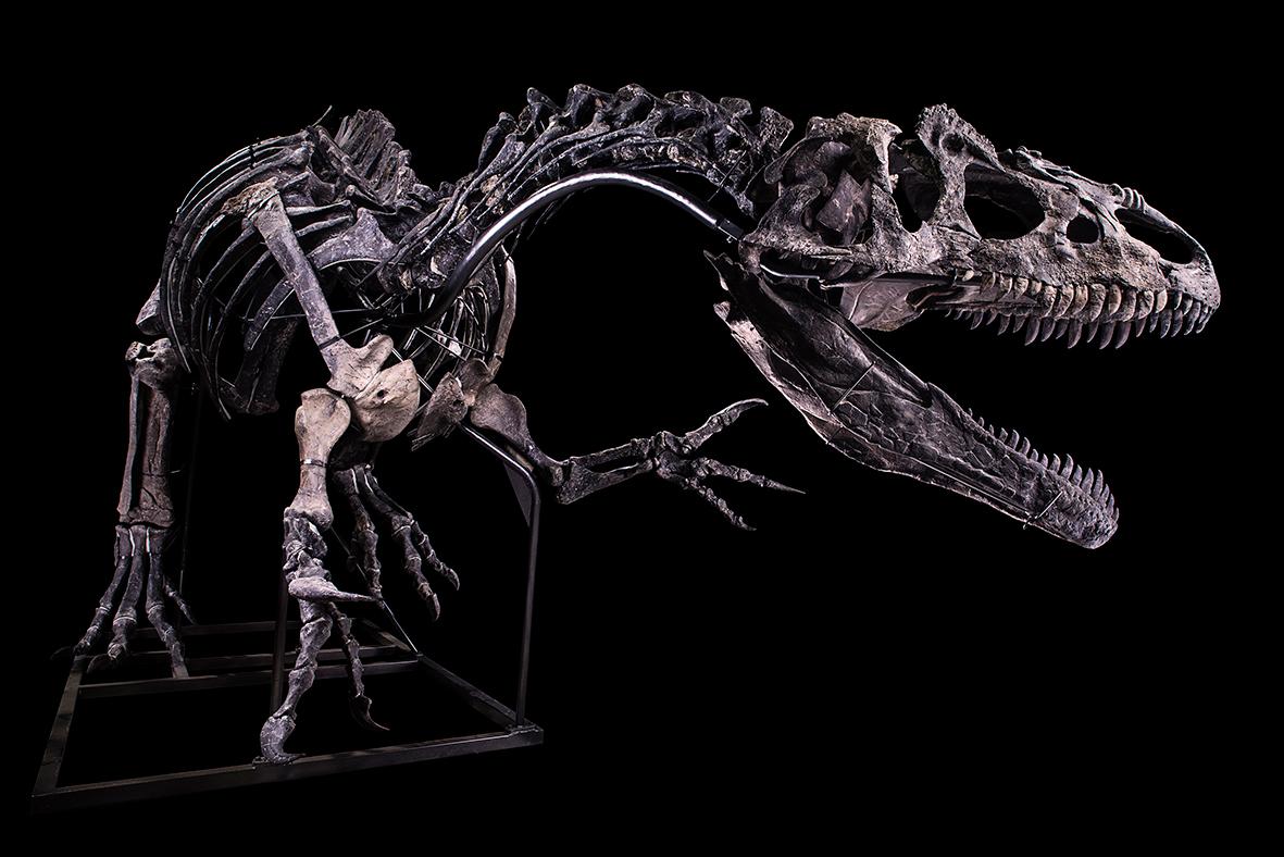 Allosaurus, Jurassique Supérieur (150,8 à 145,5 MA) Formation Morrison, Wyoming, États-UnisH. 3,50 m – l. 10 m