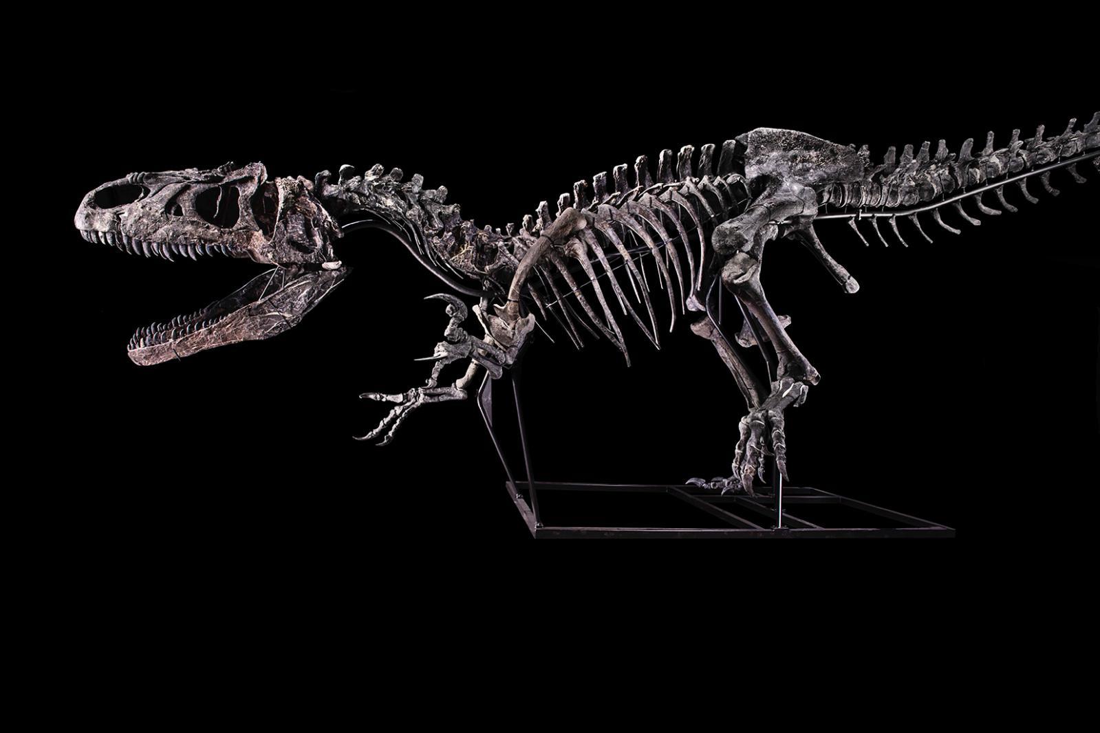 Allosaurus, Jurassique Supérieur (150,8 à 145,5 MA) Formation Morrison, Wyoming, États-Unis H. 3,50 m – l. 10 m