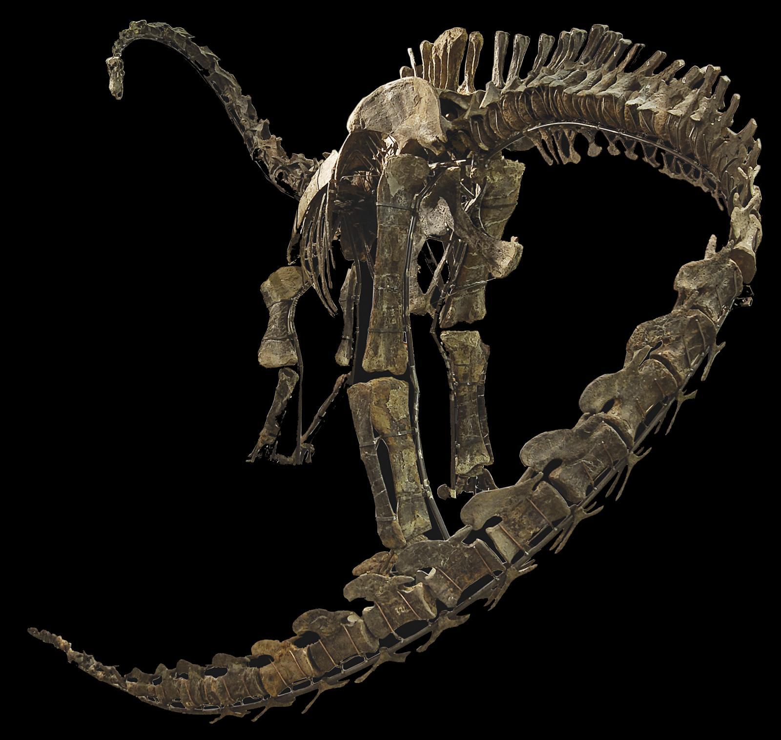 États-Unis, Wyoming, comté de Johnson, monts BigHorn orientaux, Jurassique supérieur, formation de Morrison (161-145millions d'années). Squelette de