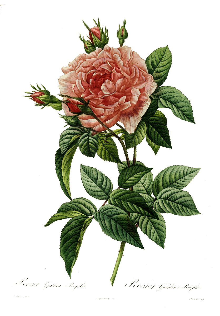 Pierre-Joseph Redouté (1759–1840), Rosa gallica regalis, in Les Roses, painted engraving of a rose, published in Paris in 1817-1824.